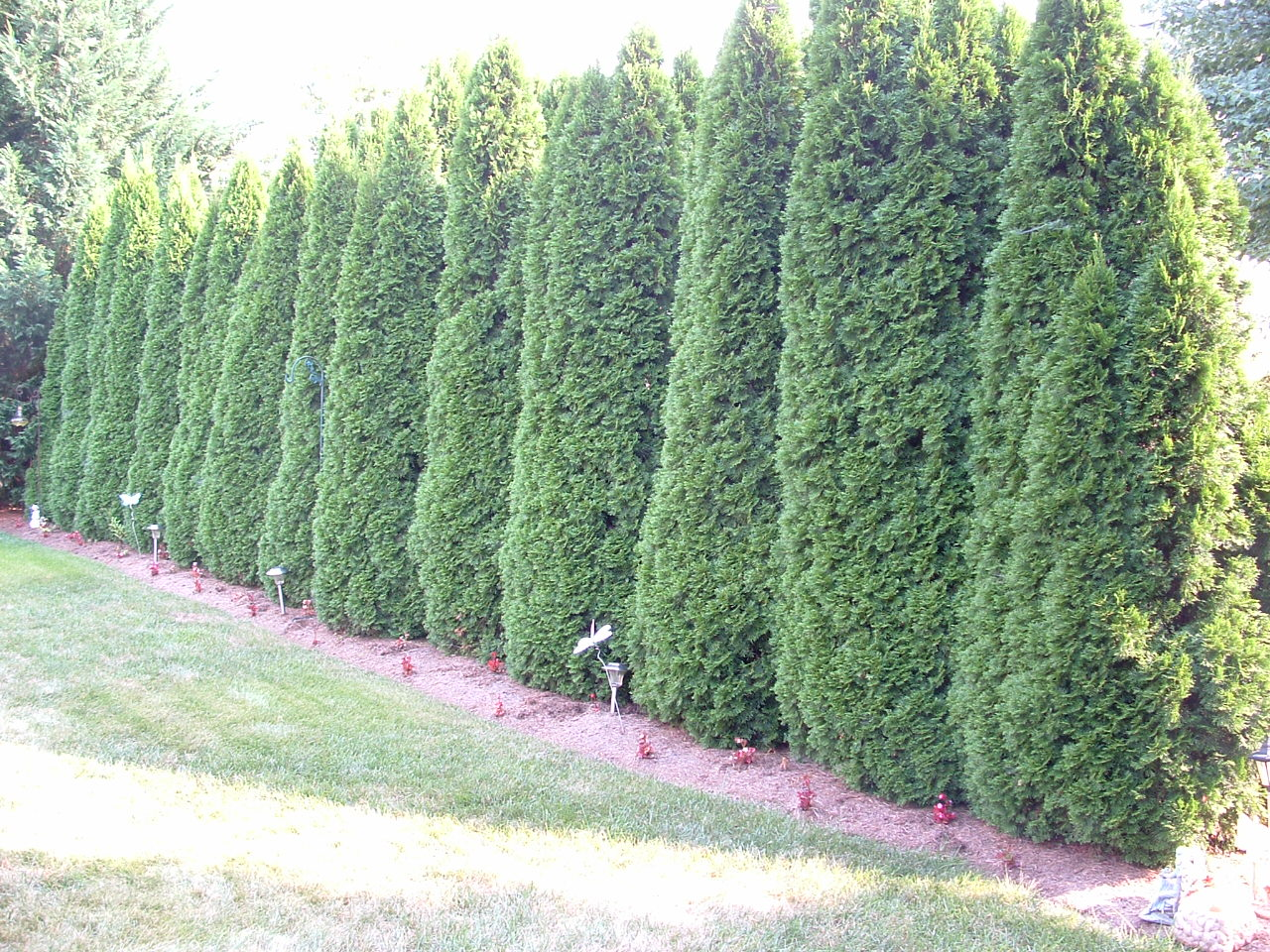 6 Screening Plants That Arent Leyland Cypress on Fence On Property Line