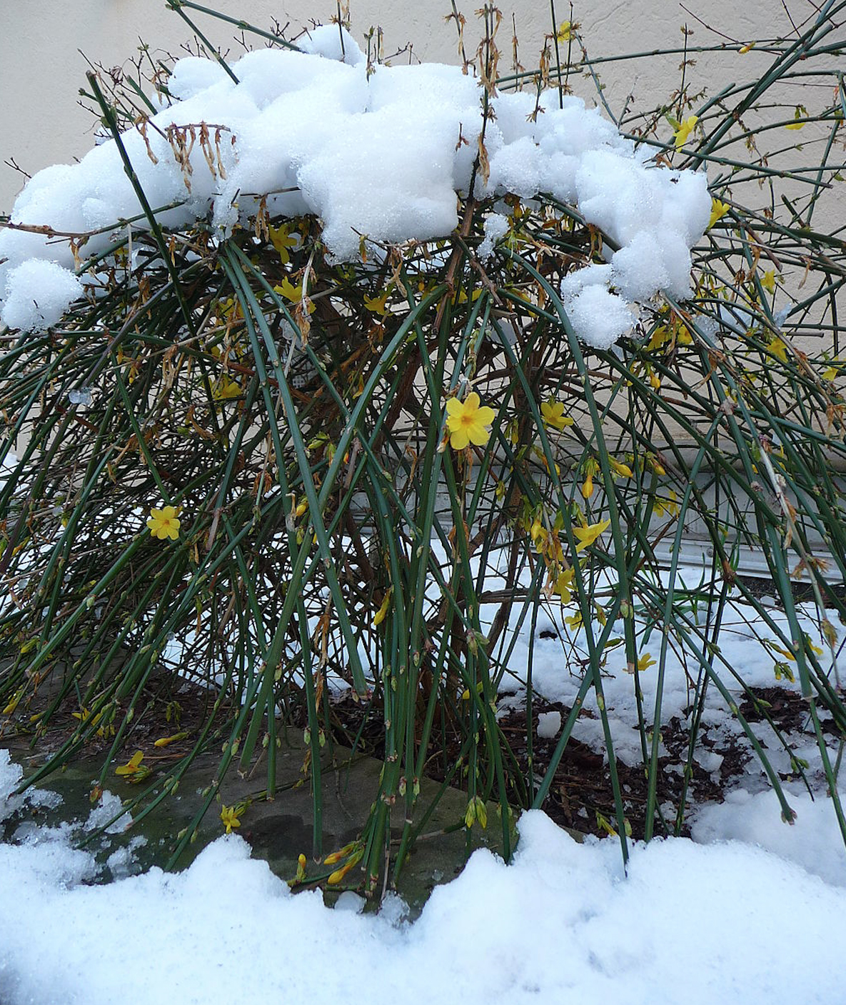 Winter Jasmine Jasminum Nudiflorum Revolutionary Gardens