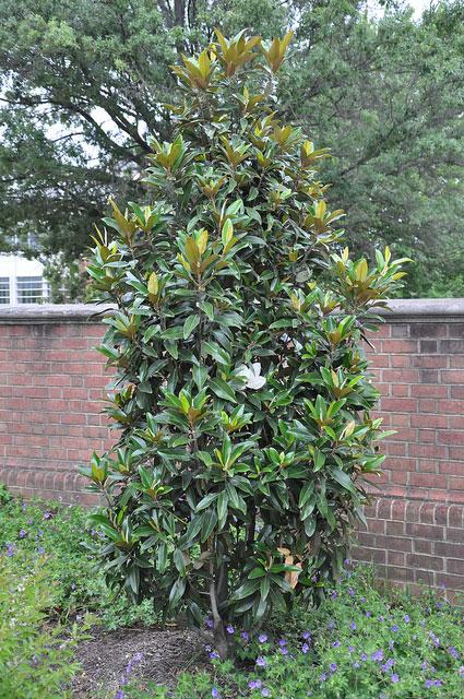 Little Gem Magnolia Magnolia Grandiflora Little Gem